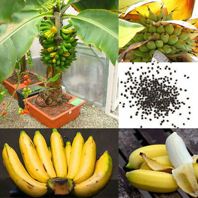 100Pcs Tropical Fruits Banana Seeds Outdoor Perennial Interesting Plants New