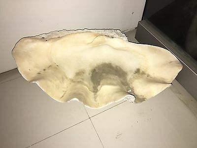 "RARE Natural Huge Tridacna Gigas Giant Clam Shell 29"" Long x 17"" Wide Antique"