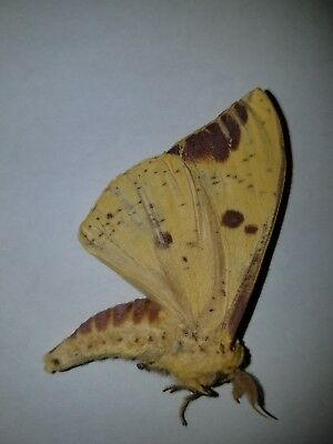 imperial moth male Ex-Pupae A1
