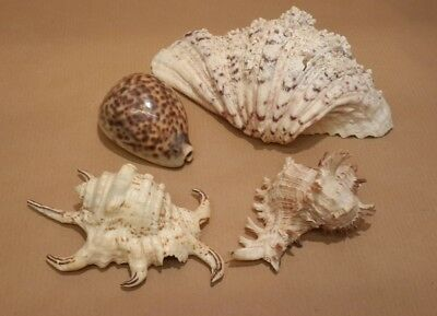 4 Exotic Sea Shells Cowrie Natural Beach Nautical Display Craft Great Condition