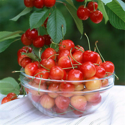 5pcs Cherry Seeds Organic Seeds Fruit Seeds Bonsai Tree seed