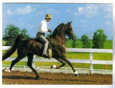 Imperator, Five-Gaited World Champion Saddlebred Horse In Action! Postcard,mint!