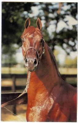 Rppc Saddlebred Stallion, Printed By American Saddle Horse Museum, Lexington Ky