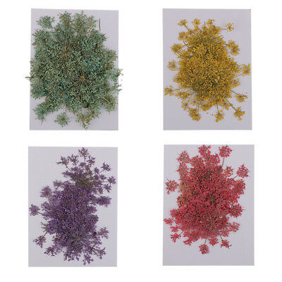 6pcs Natural Dried Flowers Real Flower Carrot Flower for DIY Ornament Craft