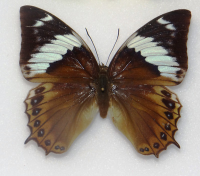 Charaxes monteiri female