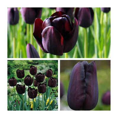 30 x Queen of the Night Tulip Bulbs. Beautiful Almost Black Spring Flowers.