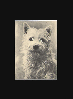 White West Highland Terrier Dog Print Art Drawing 1935 by Malcolm Nicholson RARE