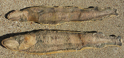 Vinctifer Comptoni Fossil Fish, Brazil, 165 million yrs old, 22 inches, 2 halves