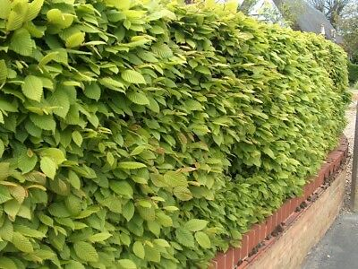 8 sizes! Hornbeam hedge plants semi-evergreen hedging plant bare root + Guide