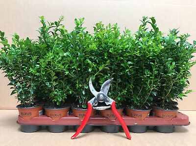 5X Buxus Box Hedging Plants - Evergreen, Bushy Trees & High Quality - P9 Potted