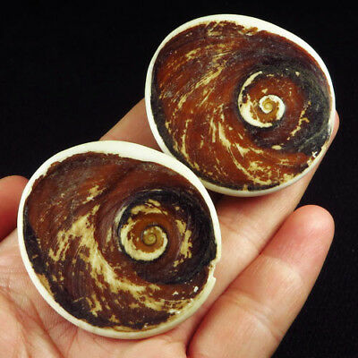 365CT 100% Natural African Shell Fossil Rough Collectible Specimen UBBH130