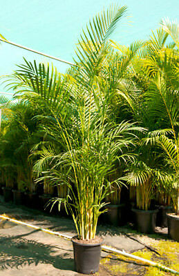 Golden Cane Palm - Dypsis lutescens 15cm seedlings $1.50 postage for @additional