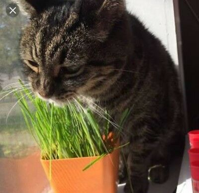 250 seeds No Toxic Cat Grass Natural Medicine Sprouting. Melbourne Stock