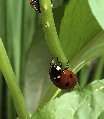 50 Live Ladybirds. Natural Green Aphid Control. Garden and greenhouse.