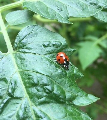 100 Live Ladybirds. Natural Green Aphid Control. Garden and greenhouse.