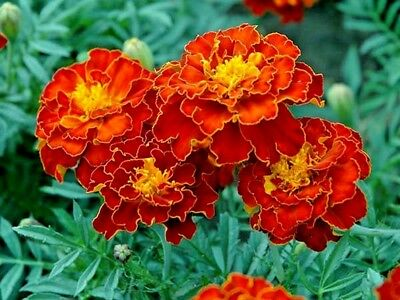 French Marigold -Spanish Brocade - Tagetes Patula Nana Double - 720 Flower Seeds