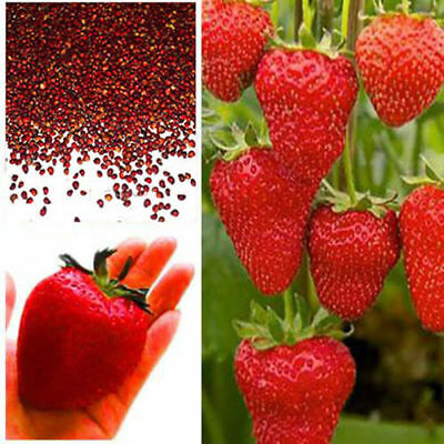 Giant Red Strawberry Seeds, Garden Fruit Plant, Rare And Delicious!