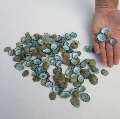 "200 piece lot of Green limpet shells 1/2"" to 1-1/4"" seashells (S)"