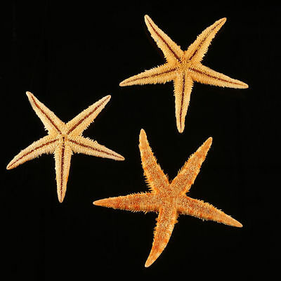 Large  Starfish 8-10cm) - Craft Work, Embellishments, Displays etc.Natural