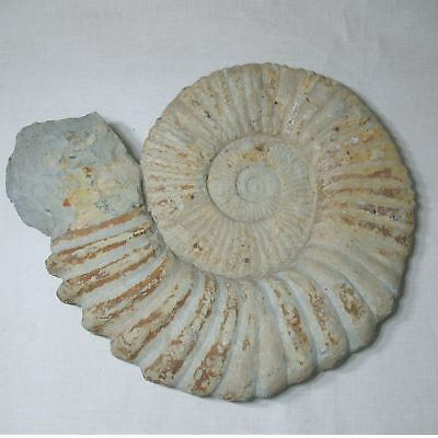 """AMMONITE FOSSIL GIANT 70 LB.  24"""" x 20"""" SHELL MOROCCO GOOD CONDITION"""