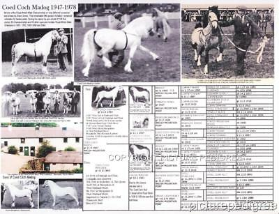 Welsh Pony Coed Coch Madog Picture Pedigree Royal Welsh Show champion