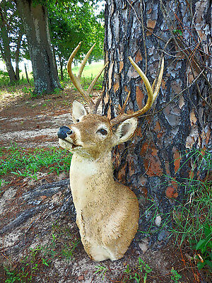 8 Point Buck Head Shoulder Mount White Tail Deer Robertson County
