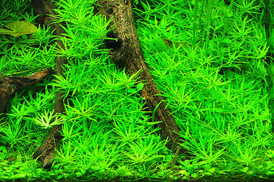 Limnophila sp Mini 'Vietnam' - Live Aquarium/Fish Tank Plant