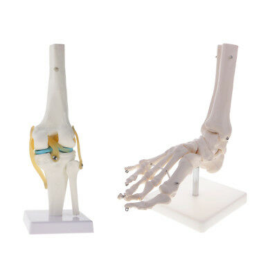 Anatomical Lifesize Human Knee & Foot Ankle Joint Skeleton Model Science Toy