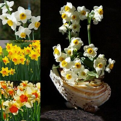 400Pcs Double Narcissus Duo Bulbs Seeds Scented Pastel Mixed Daffodil Flowers