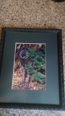Wolf Photo Of Black Alpha Male  By Renowned Wildlife Photographer Ross Jeffrie's