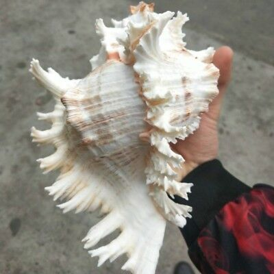 Natural Large Conch Shell White Branched Murex Fish Tank Home Ornament Chic Gift