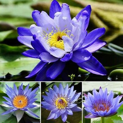 Bonsai Mini Blue Lotus Water Lily Flower Bowl Pond 10 Fresh Seeds Perfume Plants