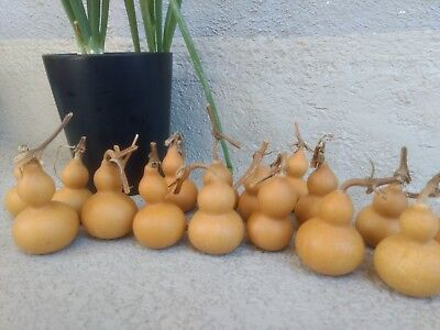 Gourds 20 Mini  Bottle Gourds  (  Dried, Clean, & Craft Ready)