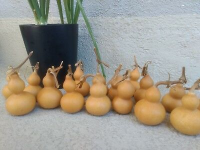50 Mini bottle gourds dry and clean