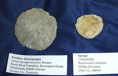 2 cup-shaped sponges (Porifera), Beech River Formation & Sellersburg LS, TN & IN