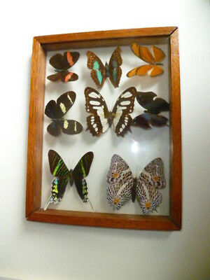 Real 8 Butterfly Insect Display Taxidermy Display Case Frame Shadow Box *NICE*