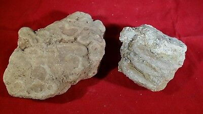 Two Crinoid Fossils - Cephalopods? - Cluster / Plates - displays
