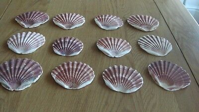 12 scallop shell flats for art and crafts - FREE P&P