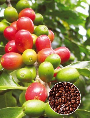 Coffee Bean Plant Seeds - Tropical House Plant - 10 Seeds