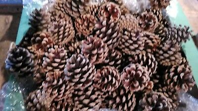 50 fircones for craft and florist use. Christmas wreaths, table decorations etc