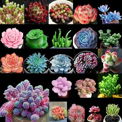 Lots 100pcs Seeds Mixed Succulents Seeds Rare-Succulent Potted Plant Home Decor