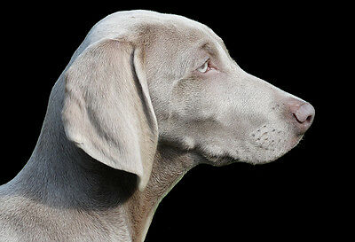 Dog Photo A Weimaraner With A Look Of Guilt Animal Poster Print Wall Art