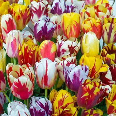 Mixed Rembrandt Tulip Flower Bulbs Astonishing Spring Blooming Plants Perennials