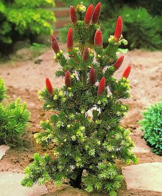 Picea pungens Lucky Strike - grafted  in 9cm pot bonsai subject
