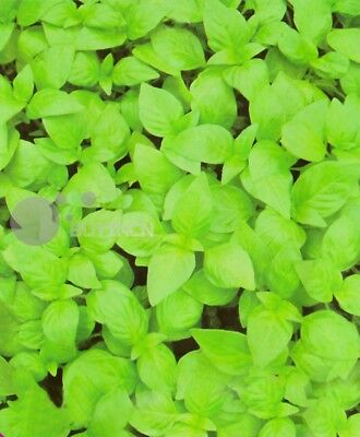 Catnip Perennial Herb seed 50 seeds Nepeta cataria catswort catmint spice vege