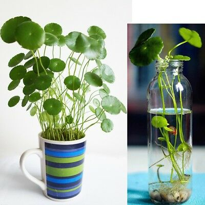 50-100X Hydrocotyle vulgaris Pilea Seeds Green Water/Soil Plant High Germination