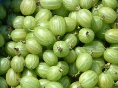 10X 2-3Ft Large Invicta Green Gooseberry Bush - Fruit Plant Multi Branched