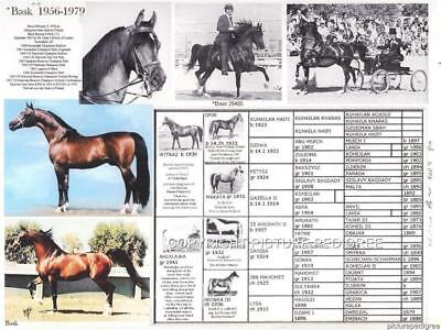 Polish Arabian Horse Legend BASK Picture Photo Pedigree Endurance Horse Ancestor