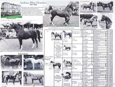 Arabian Horse Blue Domino Crabbet bloodlines picture photo pedigree