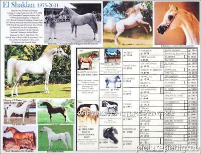 Arabian Horse El Shaklan picture pedigree chart photo